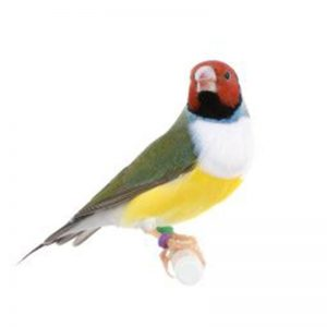 Gouldian White breasted female